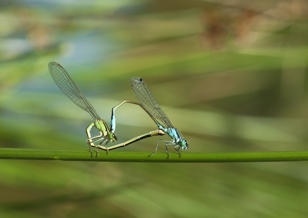agrion1